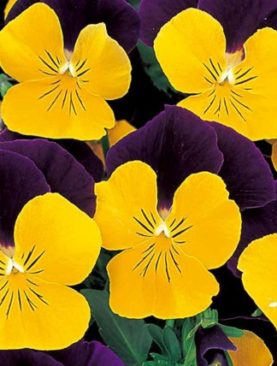 Viola Yellow Jump Up