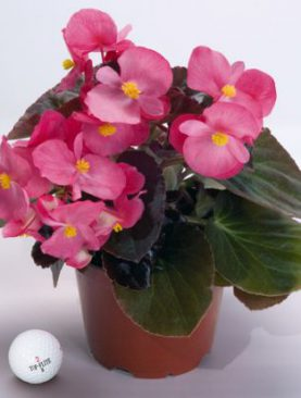 Begonia BIG Series Pink Bronze Leaf