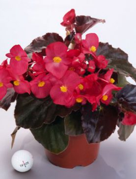 Begonia BIG Series Red Bronze Leaf
