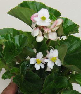 Begonia Babywing White