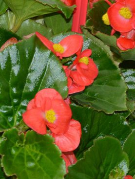 Begonia Babywing Red