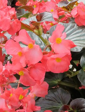 Begonia Whopper Bronze Leaf Rose