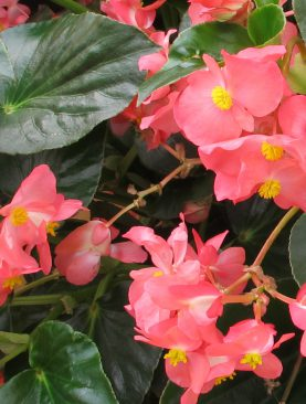 Begonia Whopper Green Leaf Rose