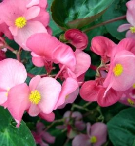 Begonia Sprint Green Leaf Pink