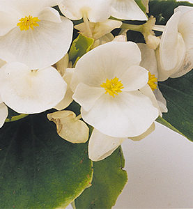 Begonia Sprint Green Leaf White