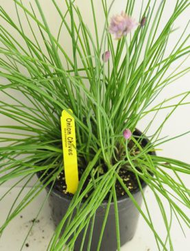 Herbs Chives Onion