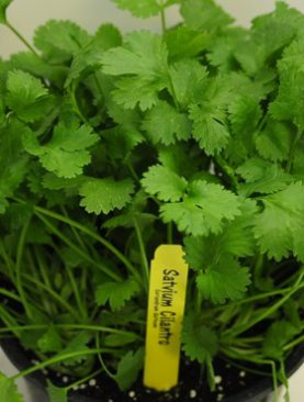 Herbs Cilantro Slow Bolting