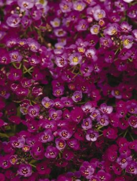 Alyssum Clear Crystal Purple Shades