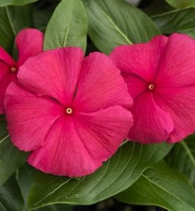 Vinca Cora Series Punch