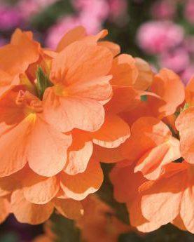 Crossandra Orange Marmalade