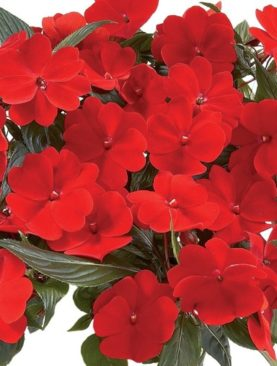 New Guinea Impatiens Red