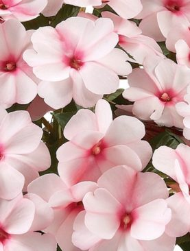 New Guinea Impatiens Candy Cream