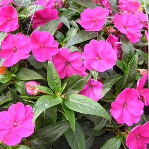 Impatiens, New Guinea