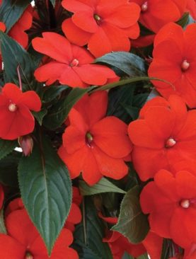 New Guinea Impatiens Orange Excitement