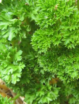 Herbs Parsley Mossed Curled