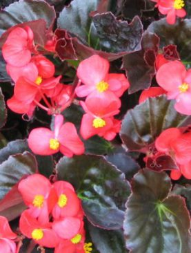 Begonia Eureka Bronze Leaf Red