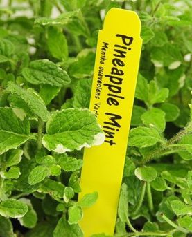 Herbs Mint Pineapple
