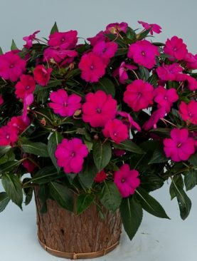 Sunpatiens Purple