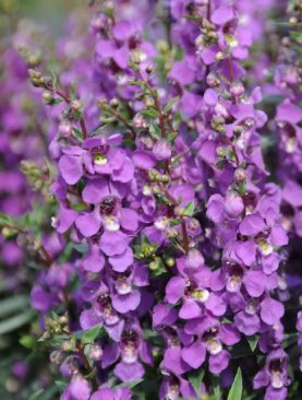 Angelonia Purple Serenita Series