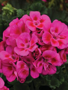 Geraniums Purple Sizzle