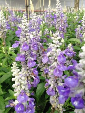 Salvia Sally Fun Bi-Color