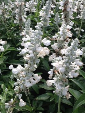 Salvia Sally Fun White