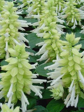 Reddy Series White Salvia