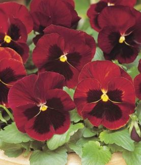 Pansy Red Blotch