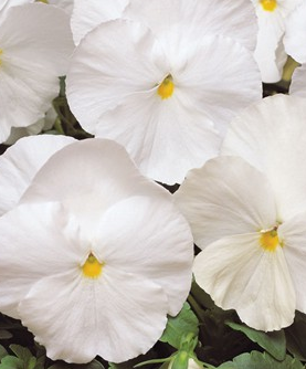 Pansy White
