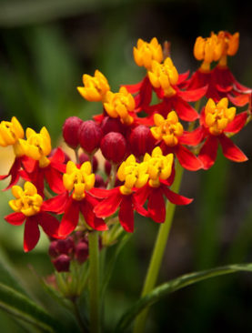 Milkweed Deep Red