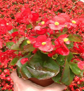Begonia Sprint Green Leaf Red