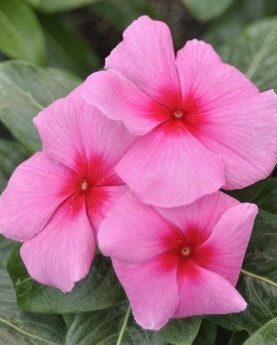 Vinca Cora Series Strawberry