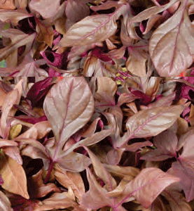 Ipomoea Rusty Red