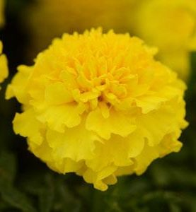 Marigold Hotpak Yellow