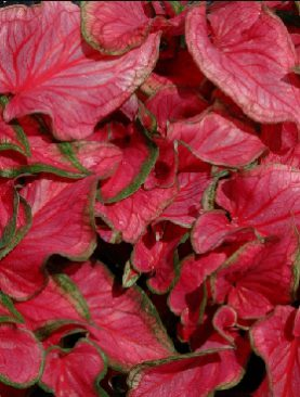 Caladium Sweet Heart (Strap Leaf)