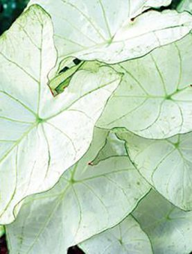 Caladium Moonlight (Fancy Leaf)