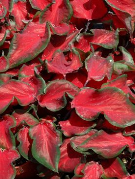 Caladium Red Ruffle (Strap Leaf)