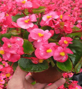 Begonia Sprint Green Leaf Rose