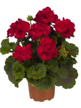 Geranium Big Eeze Dark Red