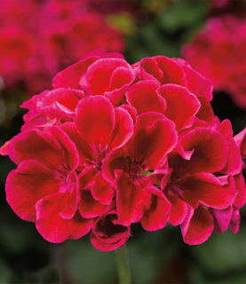 Geraniums Calliope Series Crimson Flame