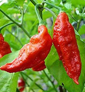 Peppers Hot Bhut Jolkia Ghost