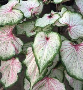 Caladiums Pearl Blush (Strap Leaf)