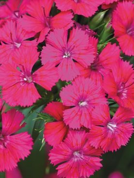 Dianthus Jolt Series Cherry