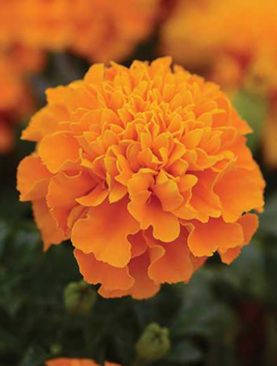 Marigold Hotpak Orange