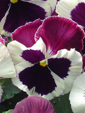 Pansy Rose Wing