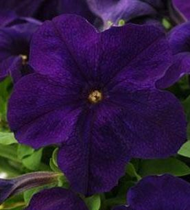Petunia Pretty Grand Midnight