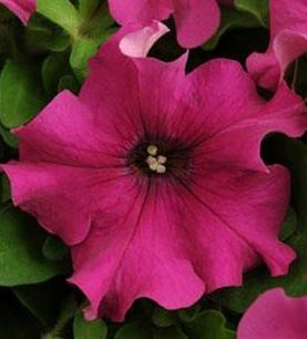 Petunia Pretty Grand Purple