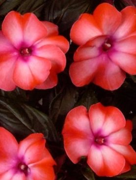 New Guinea Impatiens Salmon Cream