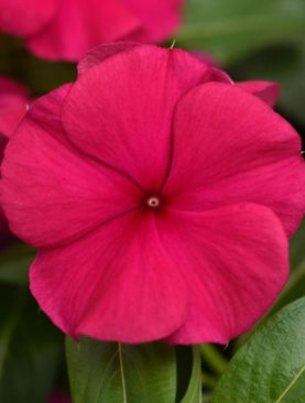 Valiant Series Burgandy Vinca
