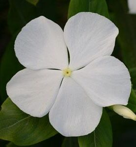 Valiant Series White Vinca